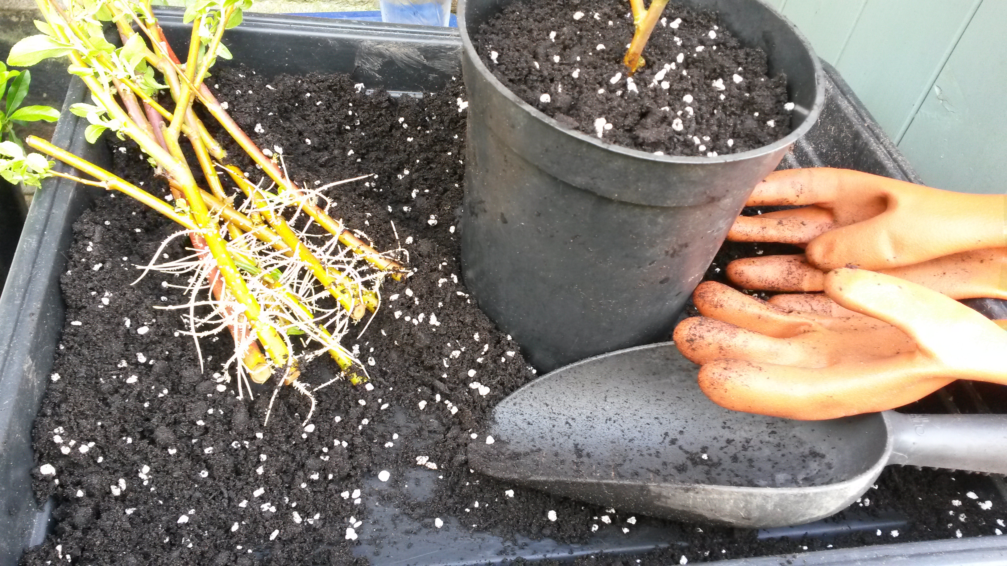 Potting up hardwood cuttings of Salix (Willow) which, after a few days in water, have struck impressively vigorous roots