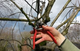 In this garden we are pruning an apple tree using secateurs.