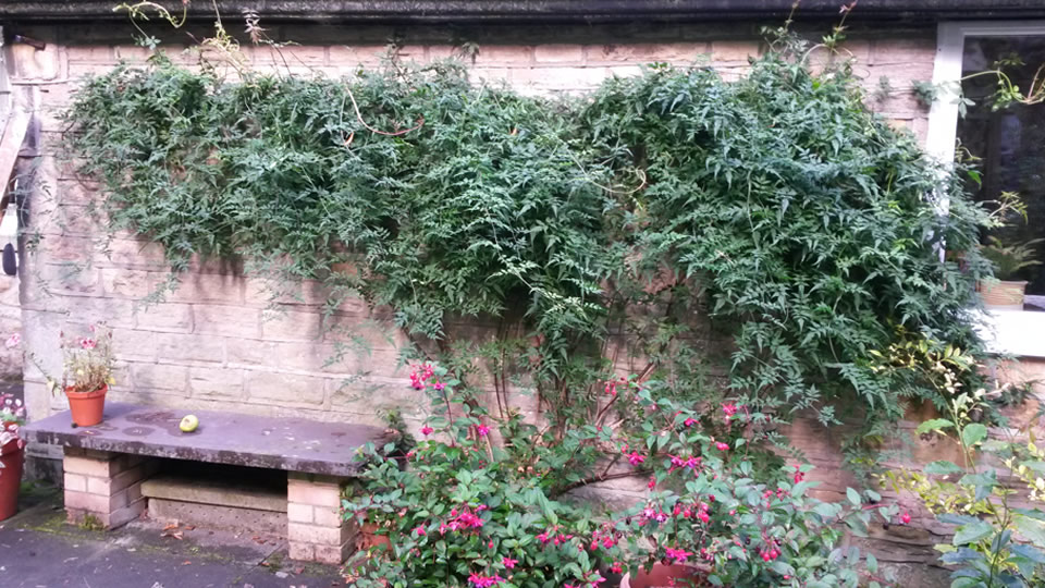 Overhauling an overgrown Jasmine and retraining it
