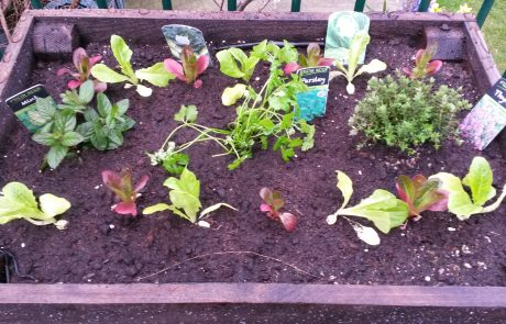 Lettuces growing in the bespoke raised bed