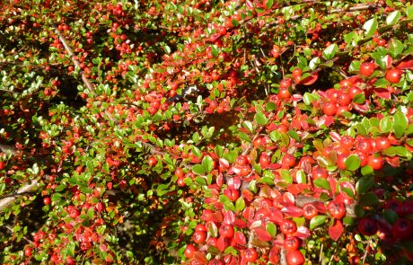 Well prunes Cotoneasters fruit gloriously